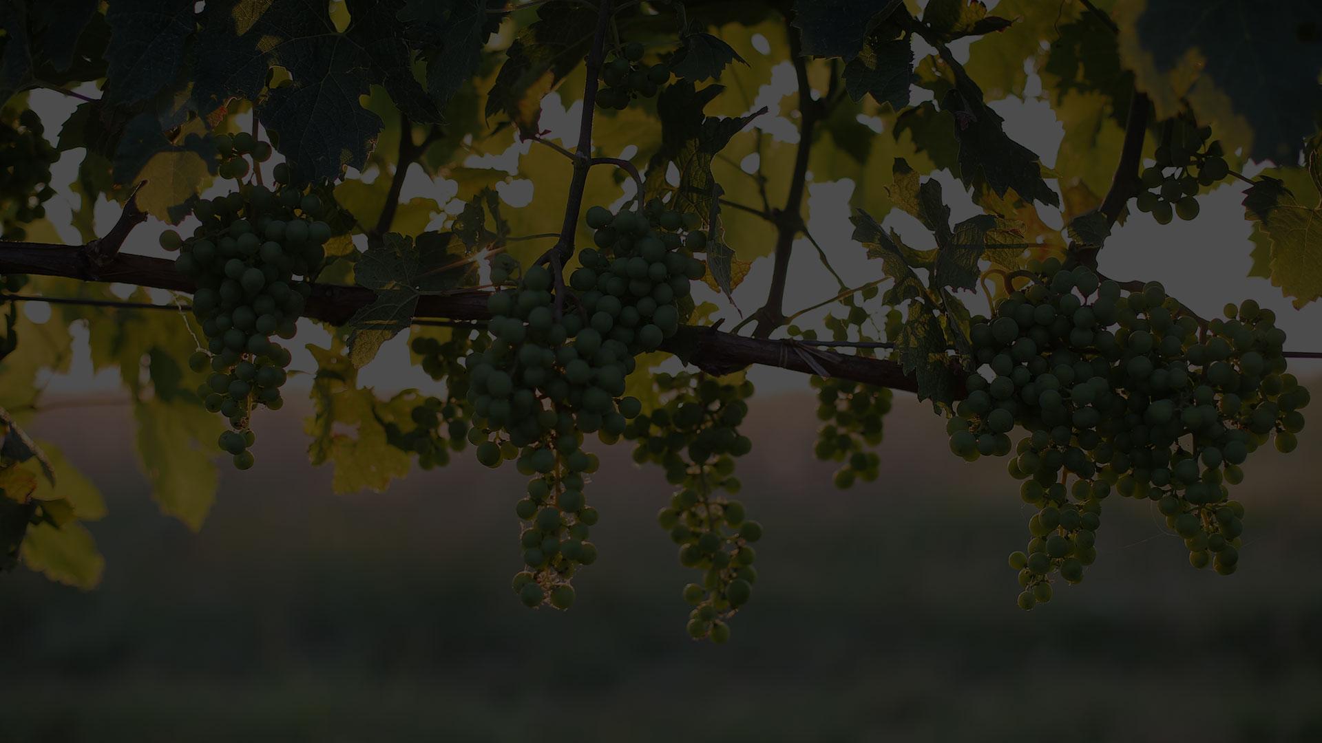 Виногради